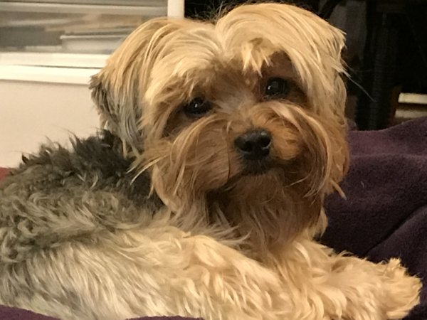 Lost Yorkshire Terrier in Bothell, WA US