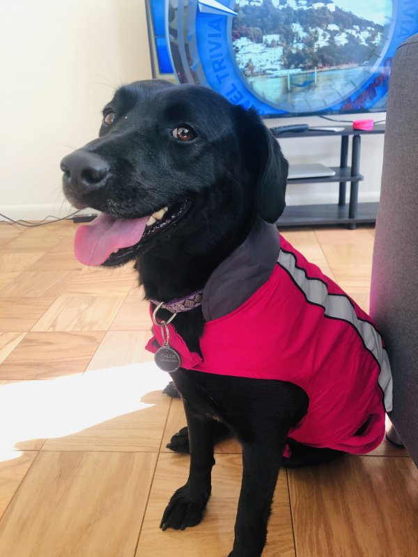 Lost Labrador Retriever in Washington, DC US