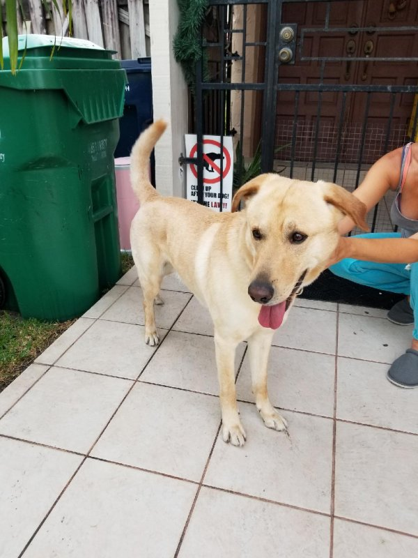 Found Labrador Retriever in Miami, FL US
