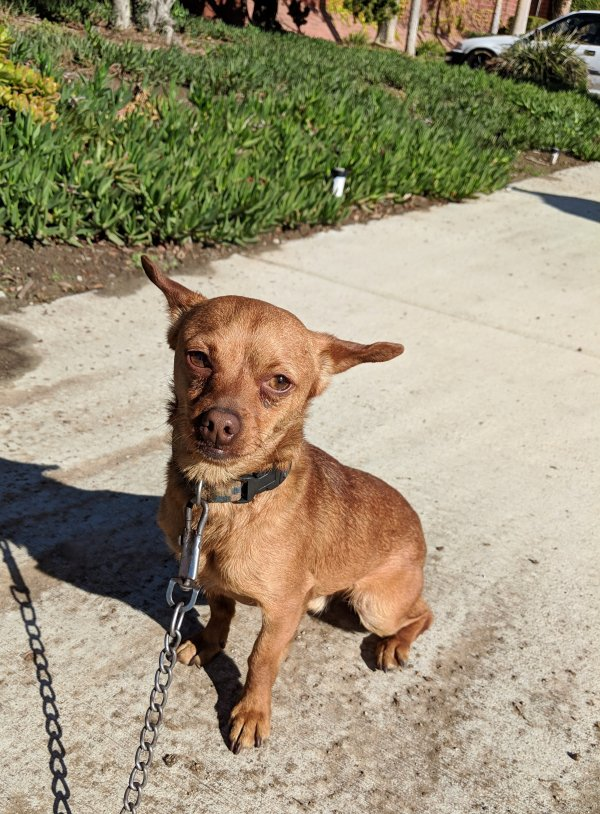 Found Chihuahua in Gardena, CA US