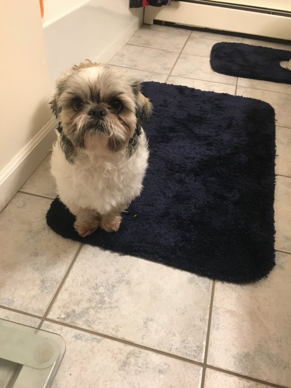 Found Maltese in North Franklin, CT US