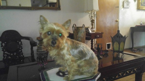 Safe Yorkshire Terrier in Concord, CA US