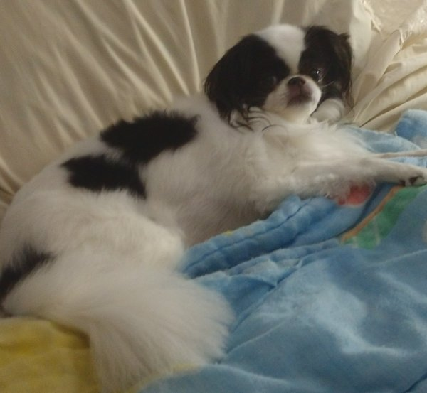 Lost Japanese Chin in New Kent, VA US