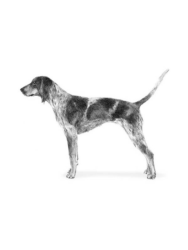 Lost Bluetick Coonhound in Sag Harbor, NY US