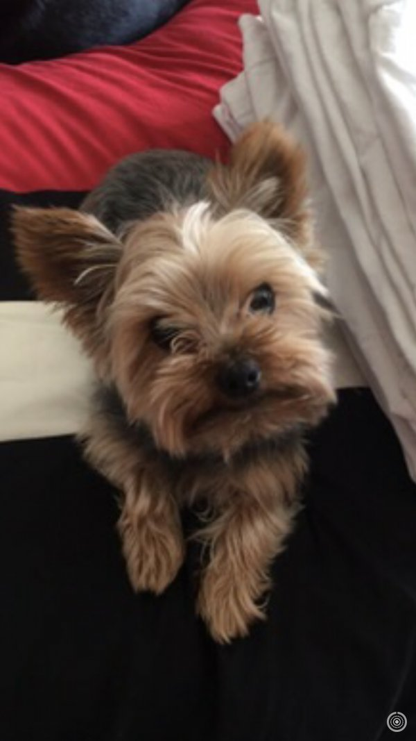 Lost Yorkshire Terrier in Corona, CA US