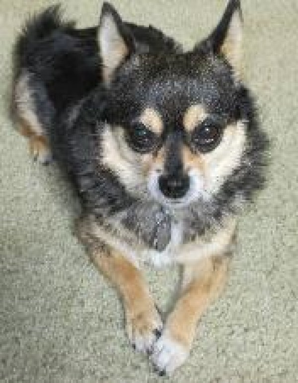 Lost Chihuahua in Torrance, CA US