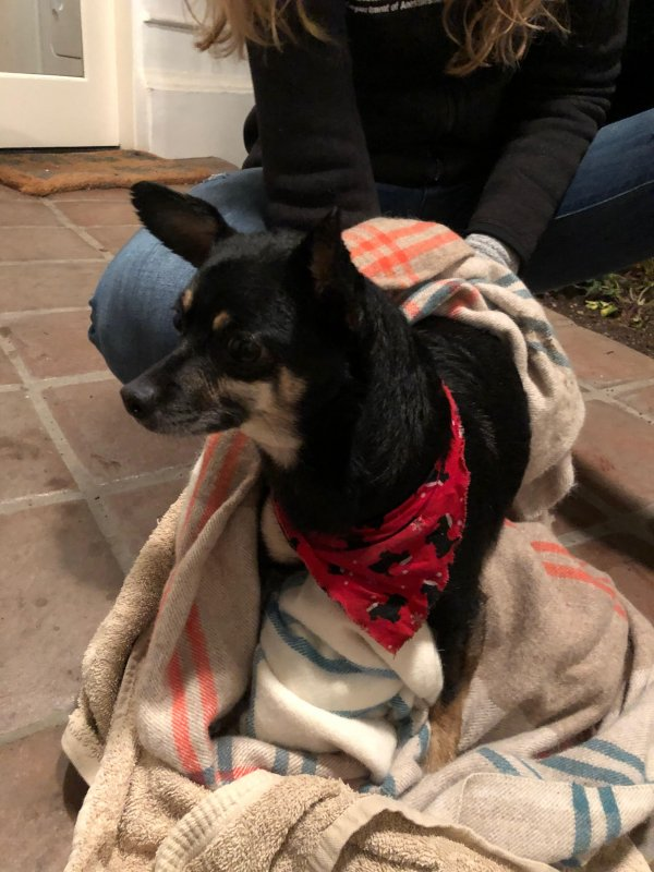 Found Chihuahua in Modesto, CA US