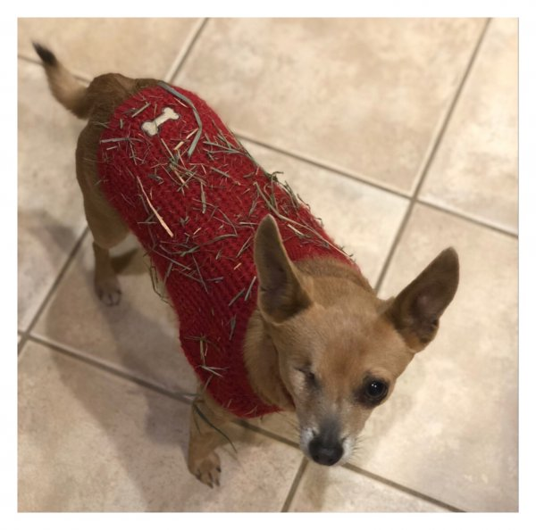 Lost Chihuahua in Martinez, CA US