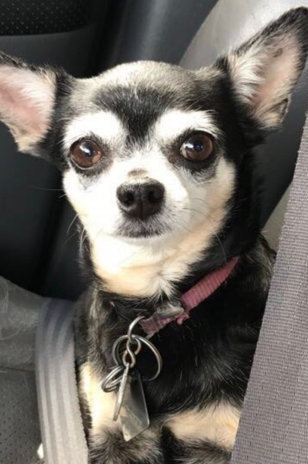 Lost Chihuahua in Houston, TX US