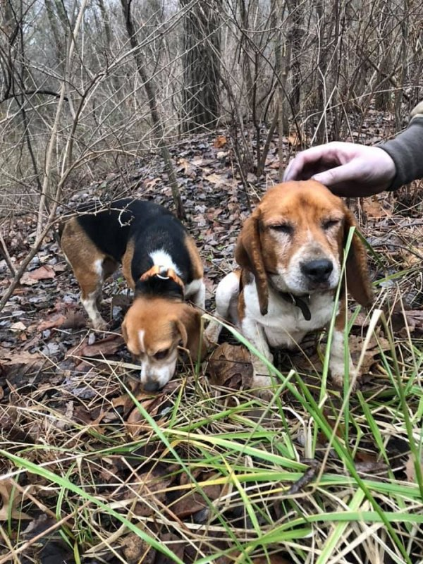 Found Beagle in Smicksburg, PA US
