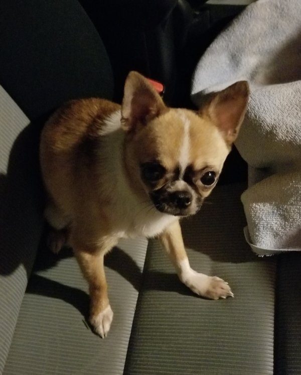 Found Chihuahua in East Stroudsburg, PA US