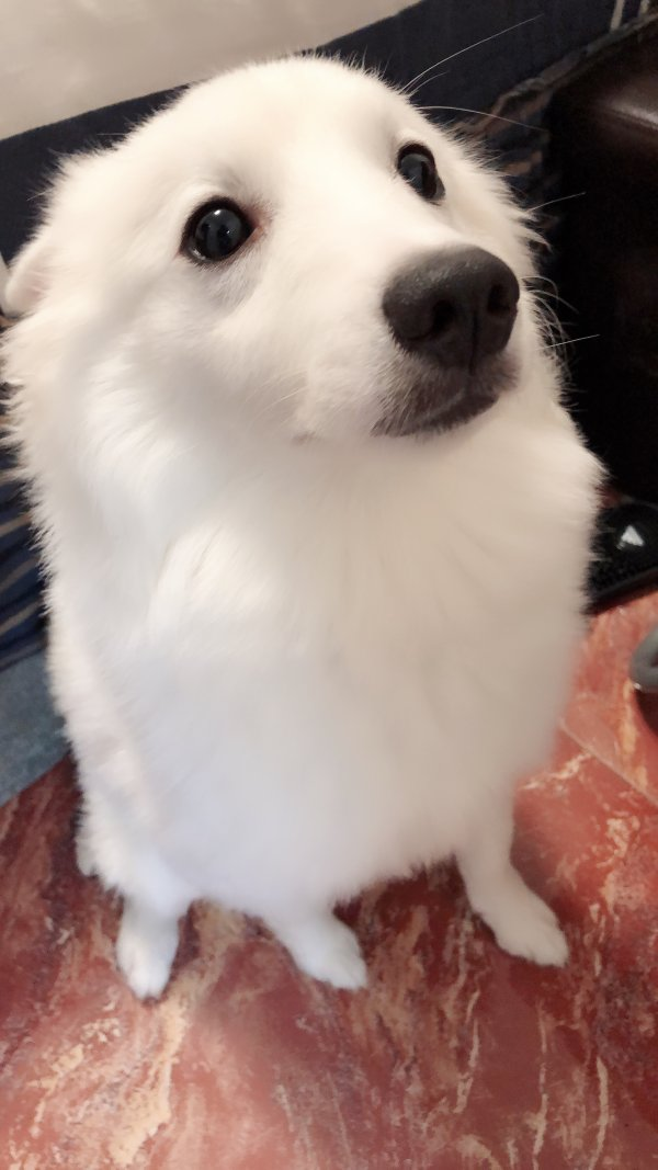 Lost American Eskimo Dog in Flushing, NY US