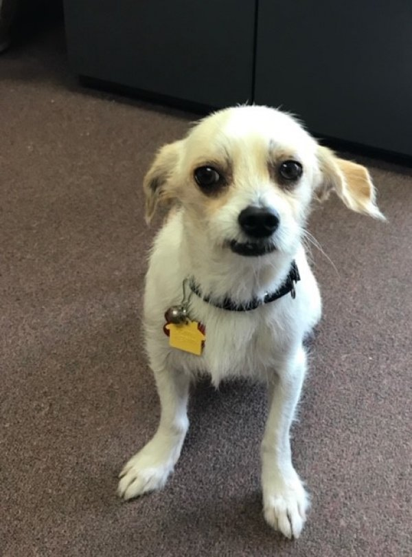 Lost Chihuahua in Solana Beach, CA US