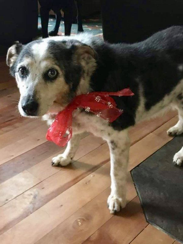 Lost Australian Shepherd in Hood River, OR US