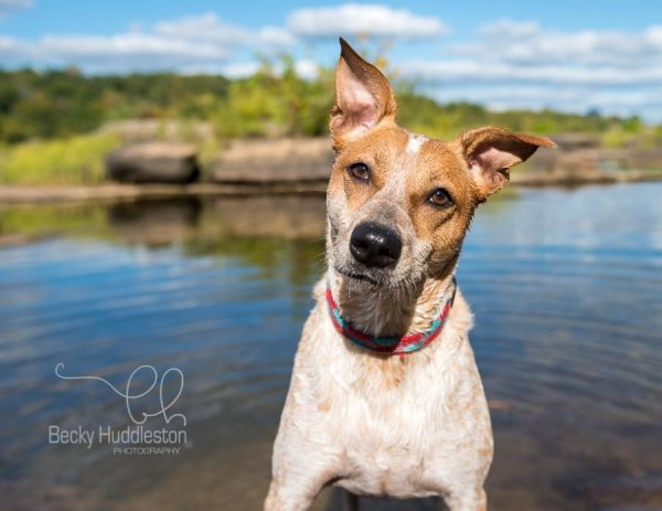 Lost Australian Cattle Dog in Chesterfield, VA US