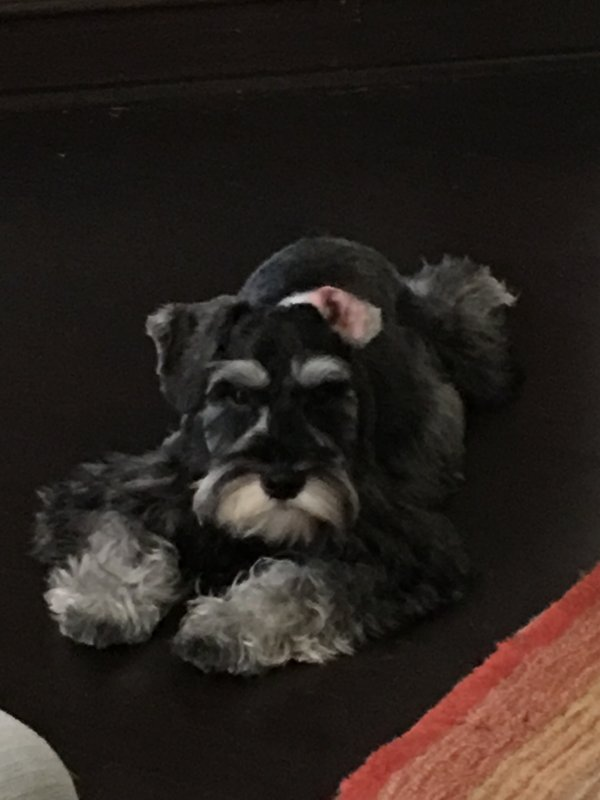Safe Miniature Schnauzer in Houston, TX US