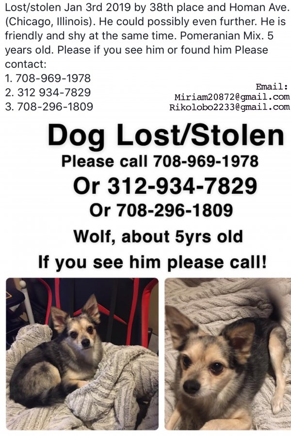 Stolen Pomeranian in Chicago, IL US