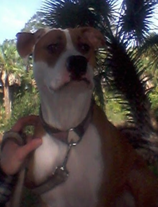 Safe Pit Bull in New Port Richey, FL US