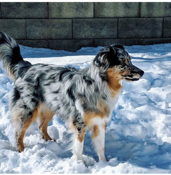 Safe Australian Shepherd in Franktown, CO US