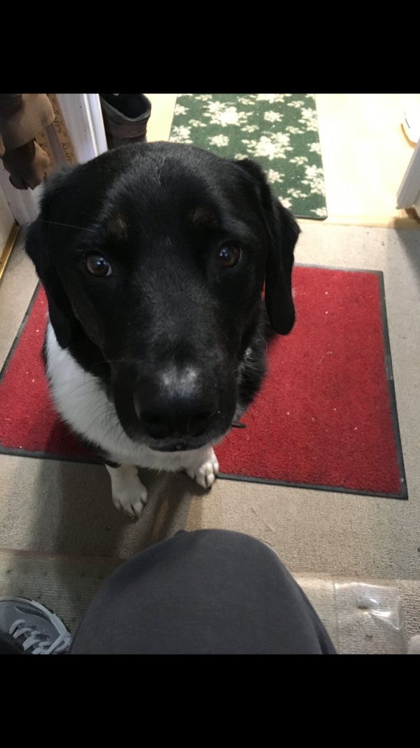 Found Border Collie in Newtown, CT US