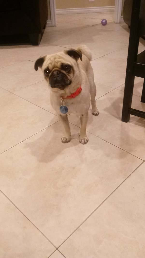 Found Pug in Whittier, CA US
