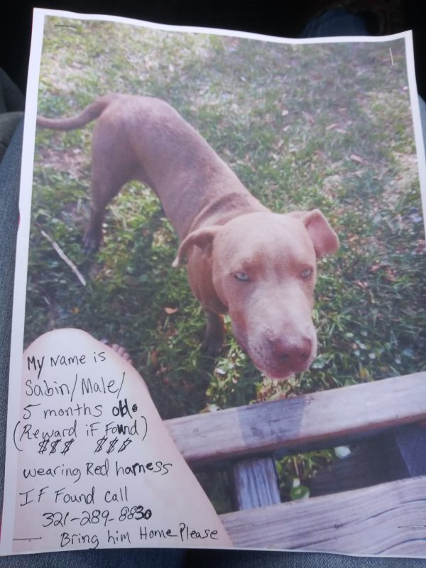 Safe Pit Bull in Mims, FL US