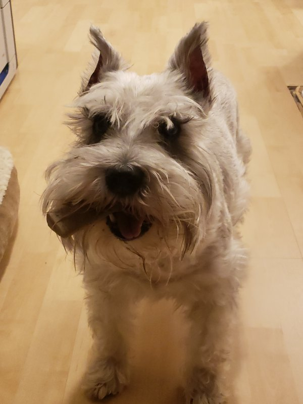 Lost Miniature Schnauzer in Alhambra, CA US