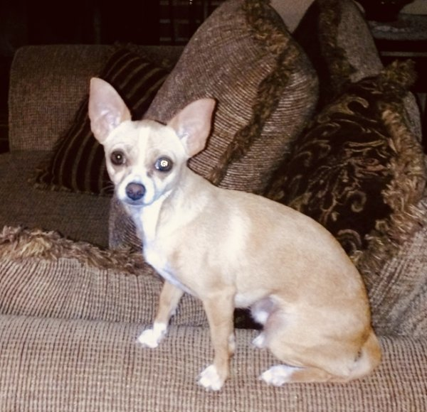 Lost Chihuahua in Mendon, MA US