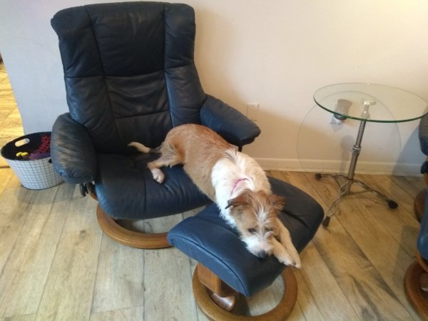 Reunited Lost Wire Fox Terrier in Safety Harbor, FL US