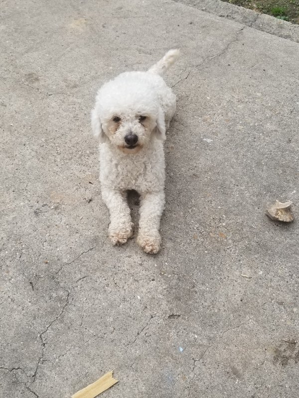 Stolen Poodle in Houston, TX US