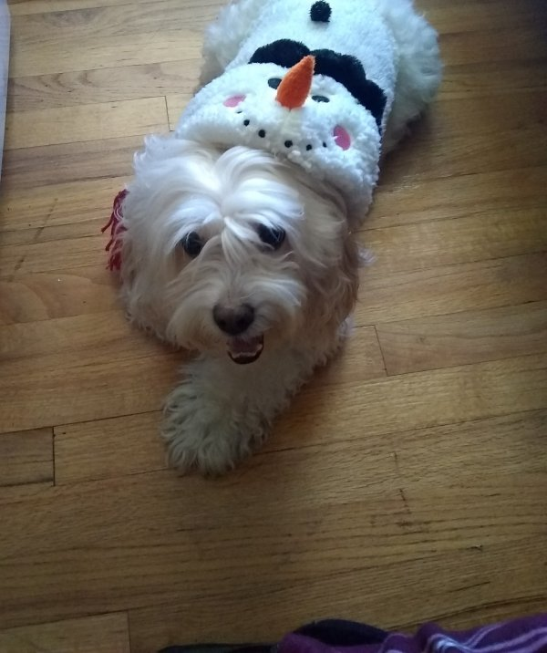 Lost Shih Tzu in West Hartford, CT US