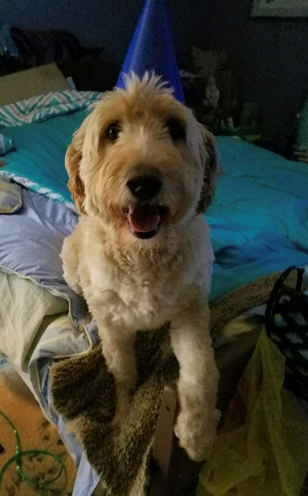 Lost Golden Retriever in Port Jervis, NY US