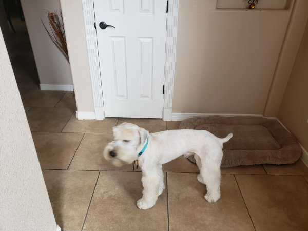 Safe Soft Coated Wheaten Terrier in El Paso, TX US