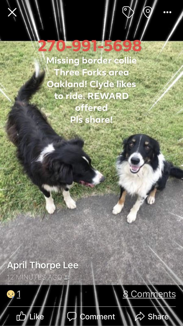 Lost Border Collie in Oakland, KY US