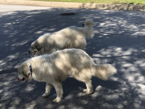 Found Great Pyrenees in Fort Worth, TX US