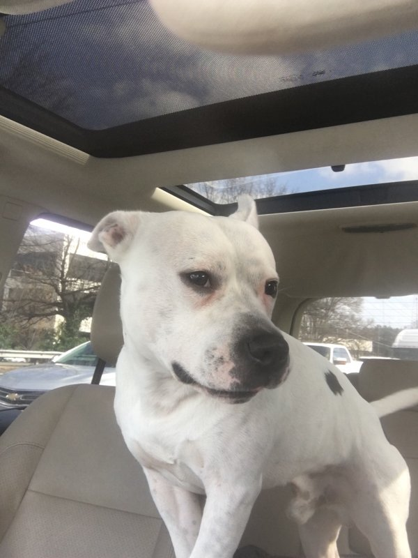 Safe Staffordshire Bull Terrier in Stone Mountain, GA US