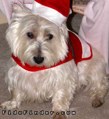 Safe West Highland White Terrier in Wellington, FL US