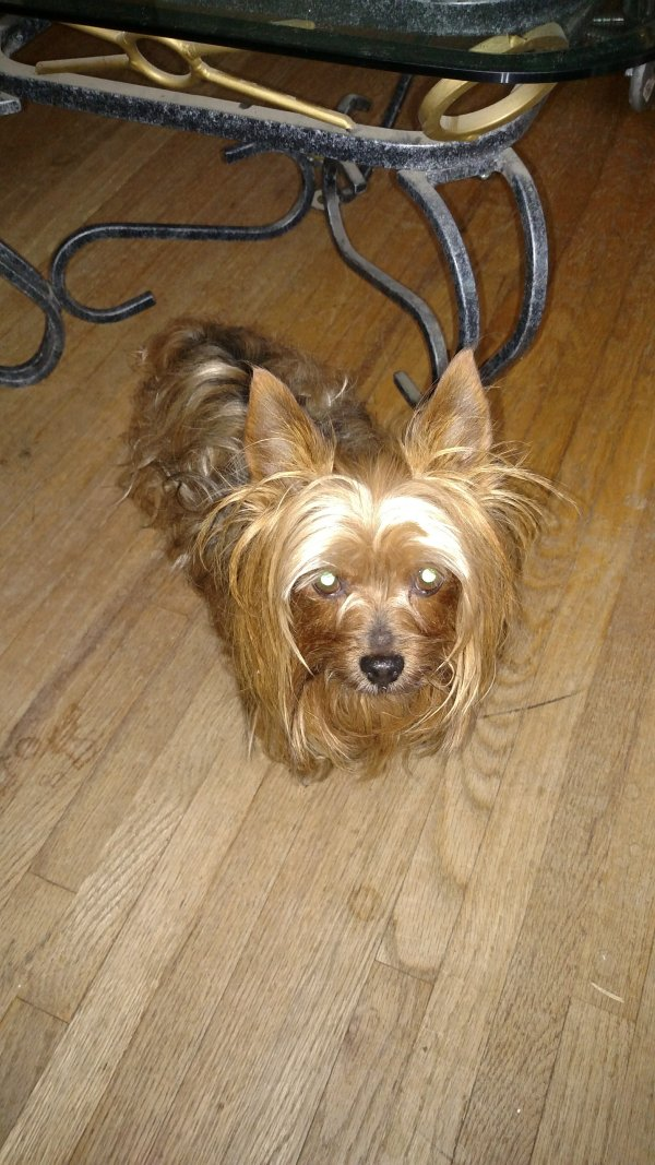 Lost Yorkshire Terrier in Whittier, CA US
