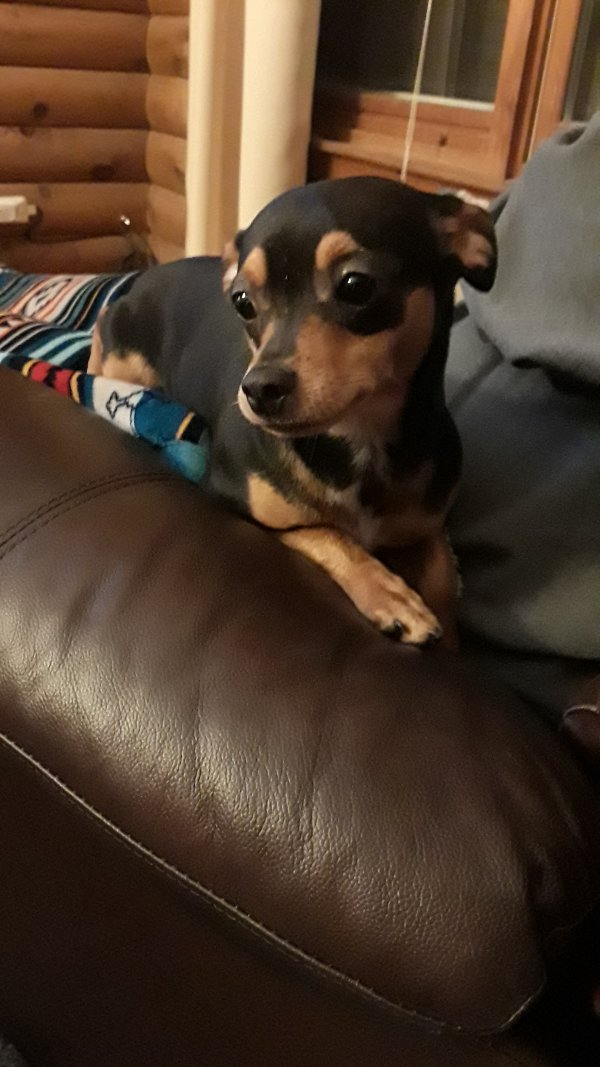 Found Miniature Pinscher in Concord, NH US