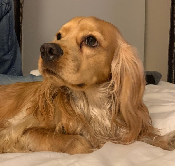Lost Cocker Spaniel in Oceanside, CA US