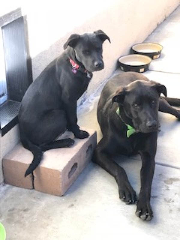 Found Labrador Retriever in Moreno Valley, CA US