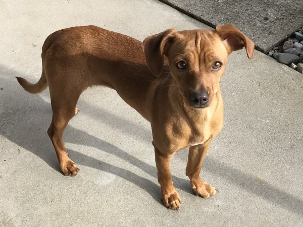 Safe Miniature Pinscher in Seaside, CA US