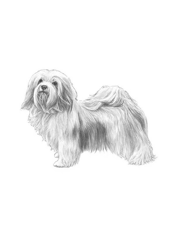 Lost Havanese in Bellevue, WA US