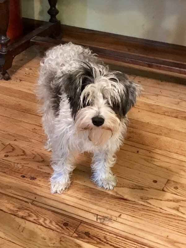 Lost Miniature Schnauzer in Kansas City, MO US
