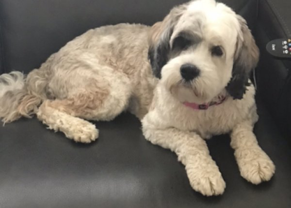 Safe Tibetan Terrier in Owings Mills, MD US