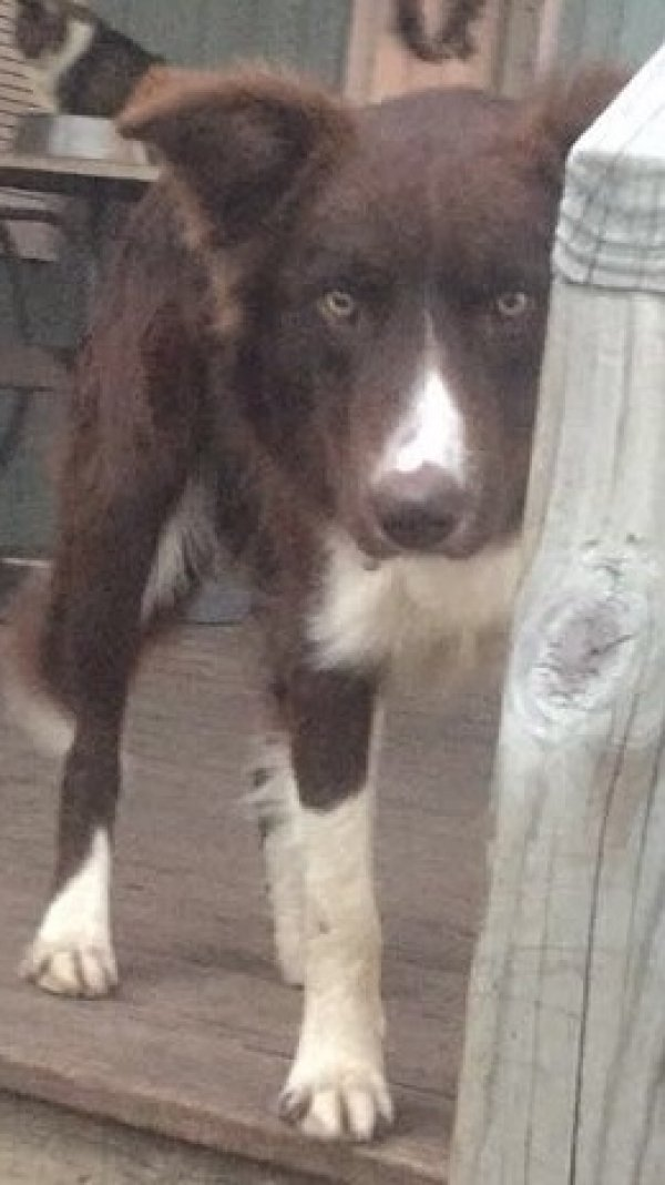 Lost Border Collie in Comfort, TX US