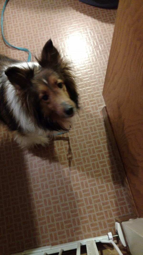 Lost Shetland Sheepdog in Spokane, WA US