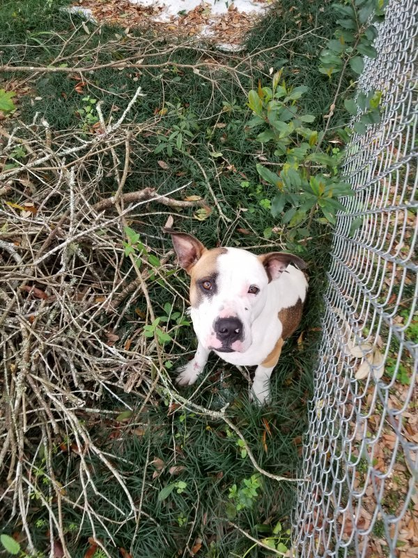 Found Pit Bull in Pensacola, FL US