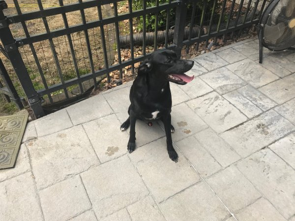 Found Labrador Retriever in Acworth, GA US