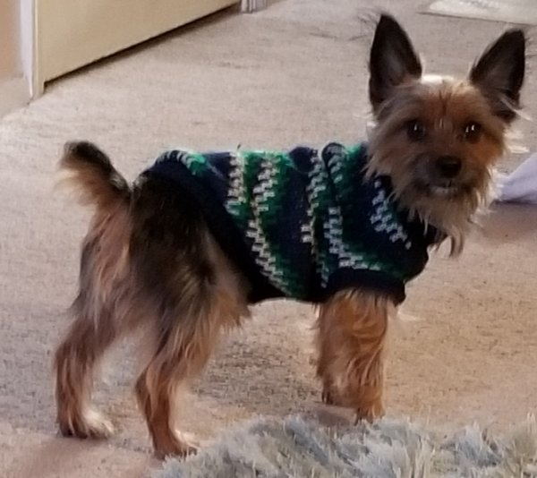 Safe Yorkshire Terrier in Temple Hills, MD US